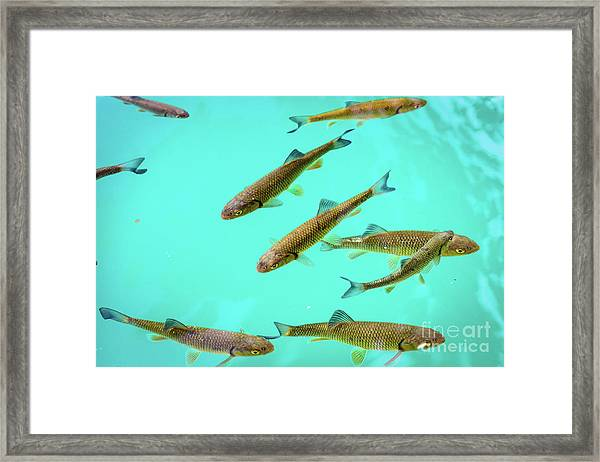 Fish School In Turquoise Lake - Plitvice Lakes National Park, Croatia Framed Print