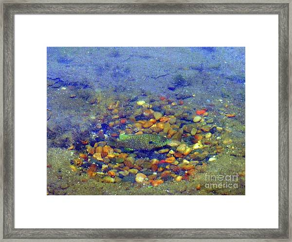 Fish Spawning Framed Print