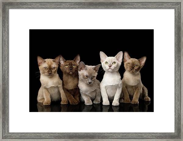 Five Burmese Kittens Framed Print