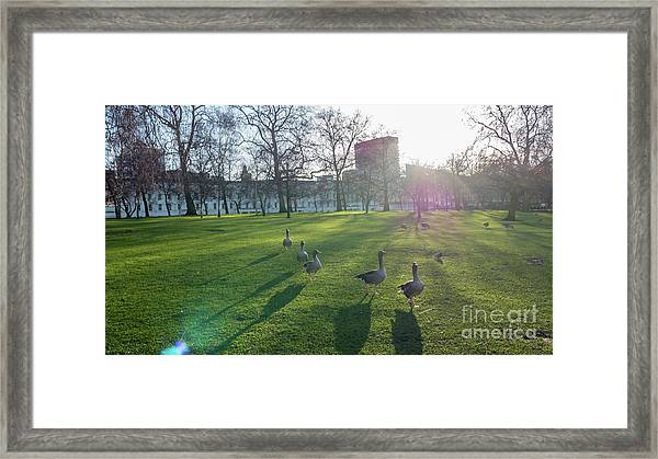 Five Ducks Walking In Line At Sunset With London Museum In The B Framed Print