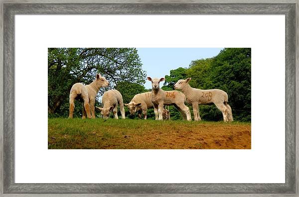 Five Little Lambs Framed Print