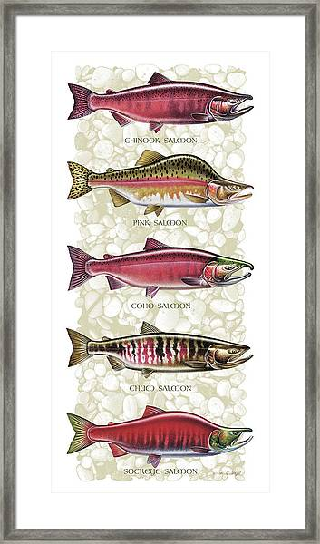 Five Salmon Species  Framed Print