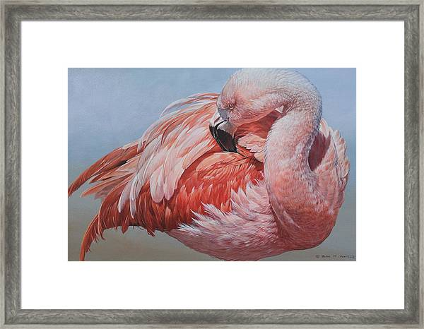 Flamingo Preening Framed Print