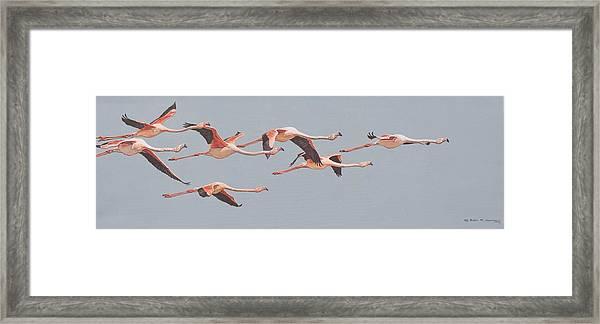 Flamingos In Flight Framed Print
