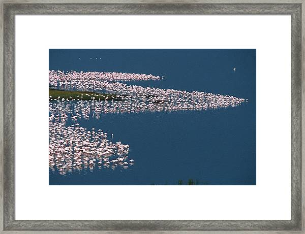 Flamingos On Lake Nakuru In Kenya Framed Print by Carl Purcell