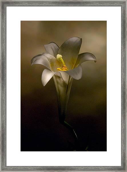 Flashlight Series Easter Lily 7 Framed Print