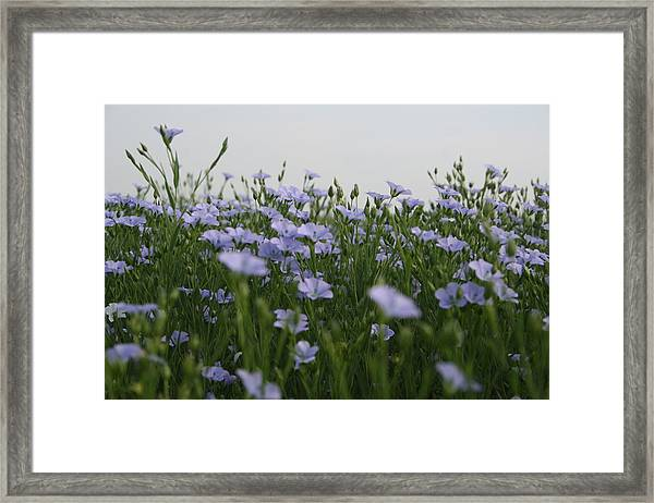 Framed Print featuring the photograph Flax V by Dylan Punke