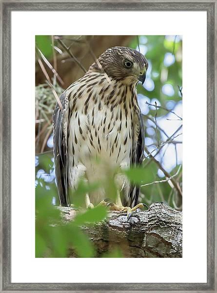 Fledgling Red-shouldered Hawk 2 Framed Print