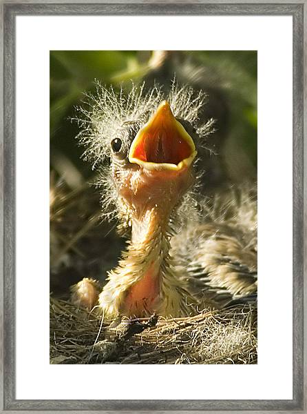 Fledgling Yellow Warbler Framed Print
