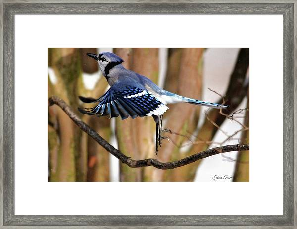 Flight Of The Blue Jay Framed Print