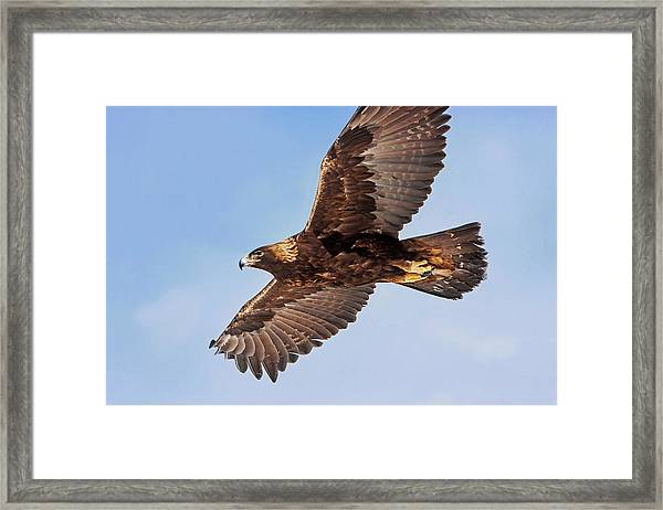 Flight Of The Golden Eagle Framed Print