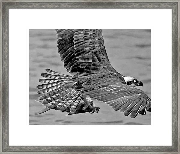 Flight Of The Osprey Bw Framed Print
