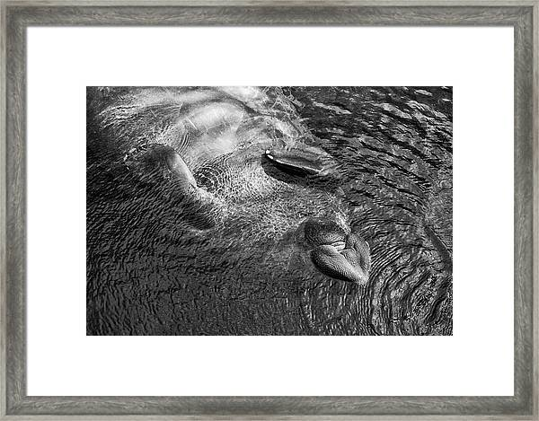Floating Manatee Framed Print