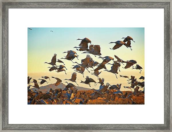 Liftoff, Sandhill Cranes Framed Print