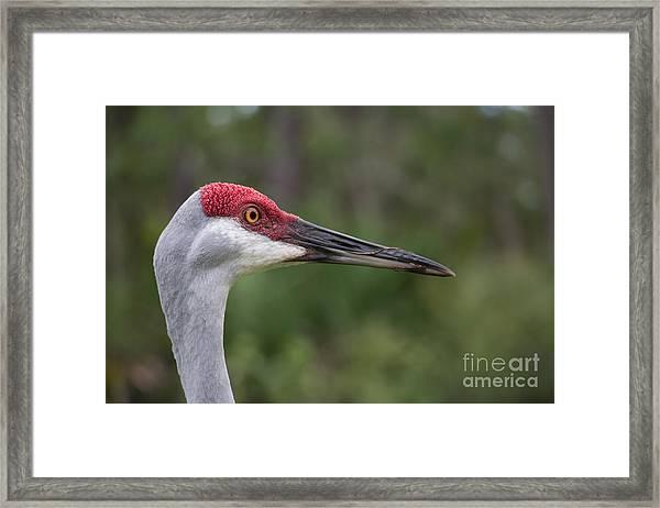 Florida Sandhill Crane Framed Print