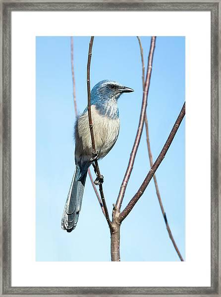 Florida Scrub Jay Iv Framed Print