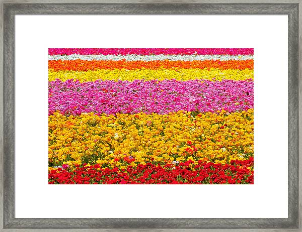 Flower Fields Carlsbad Ca Giant Ranunculus Framed Print