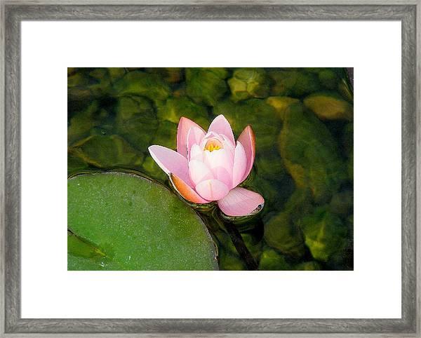 Flower Of Peace Framed Print by Sherwanda Irvin