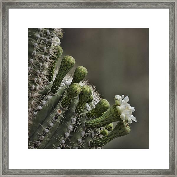 Flower Of The Saguaro Framed Print