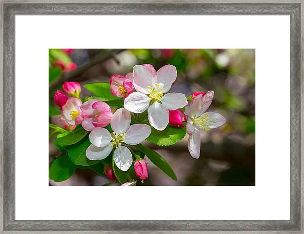 Flowering Cherry Tree Blossoms Framed Print