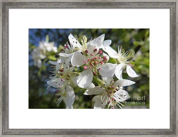 Flowering Of White Flowers 2 Framed Print