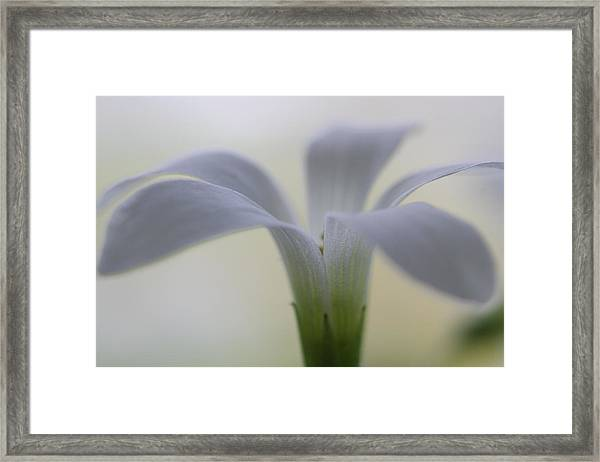 Flowering Shamrock Framed Print