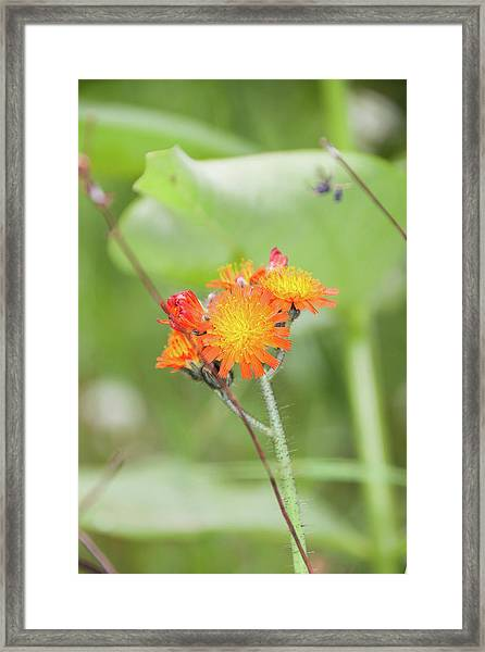 Flp-4 Framed Print