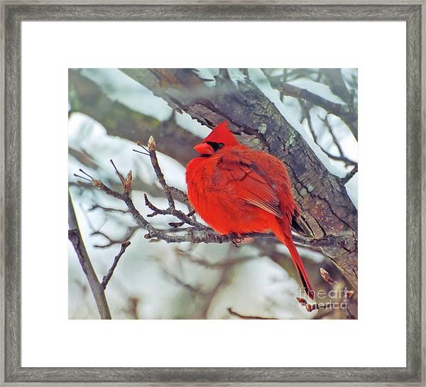 Fluffed Up Male Cardinal Framed Print