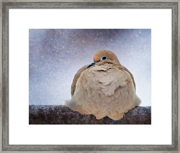 Fluffy Mourning Dove Framed Print