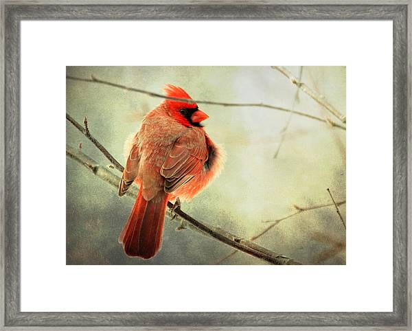 Fluffy Winter Cardinal Framed Print