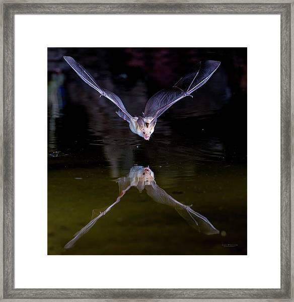 Flying Bat With Reflection Framed Print