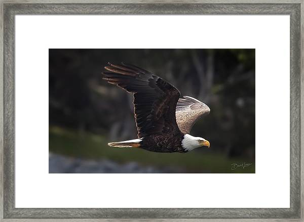 Framed Print featuring the photograph Flying Eagle by David A Lane