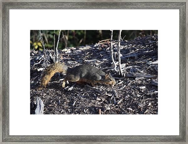 Squirrel Pprh Woodland Park Co Framed Print