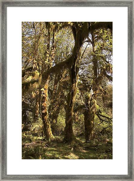 Forest Setting In Hoh Rain Forest Framed Print