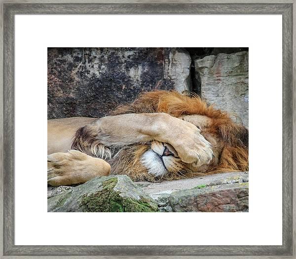 Fort Worth Zoo Sleepy Lion Framed Print