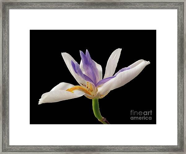 Fortnight Lily On Black Framed Print