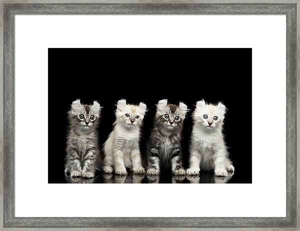 Four American Curl Kittens With Twisted Ears Isolated Black Background Framed Print