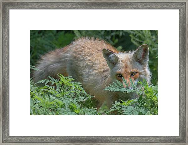 Fox In The Ferns Framed Print
