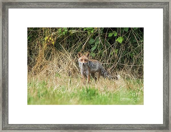 Fox In The Woods Framed Print