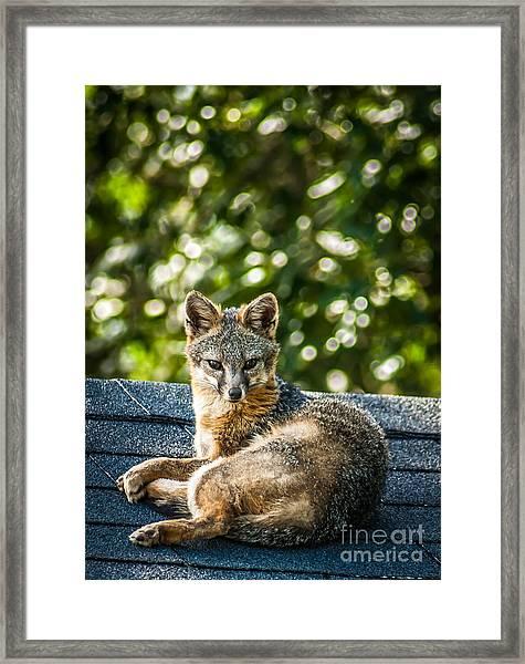 Fox On Roof Framed Print