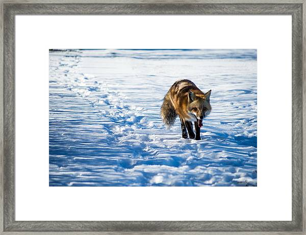 Fox Path Framed Print