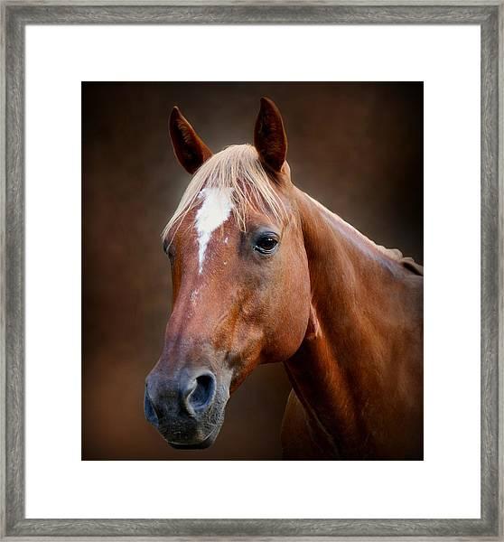 Fox - Quarter Horse Framed Print