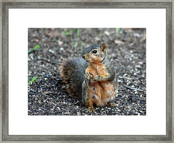 Fox Squirrel Breakfast Framed Print