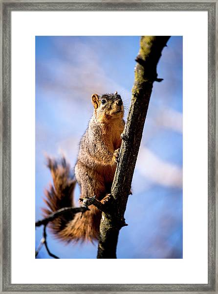 Fox Squirrel's Last Look Framed Print