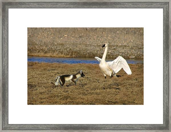 Fox Vs Tundra Swan Framed Print