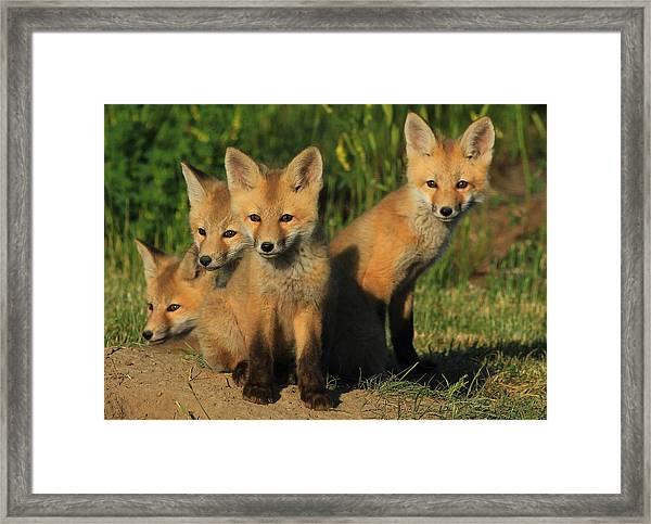Foxy Four Framed Print