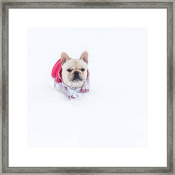 Frenchie In The Snow Framed Print