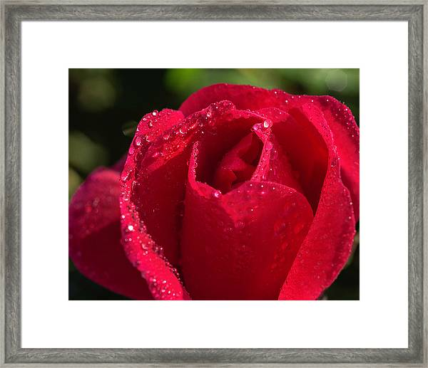 Fresh Rose Framed Print