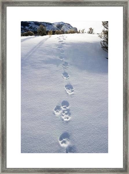 Fresh Wolf Tracks In Yellowstone Framed Print