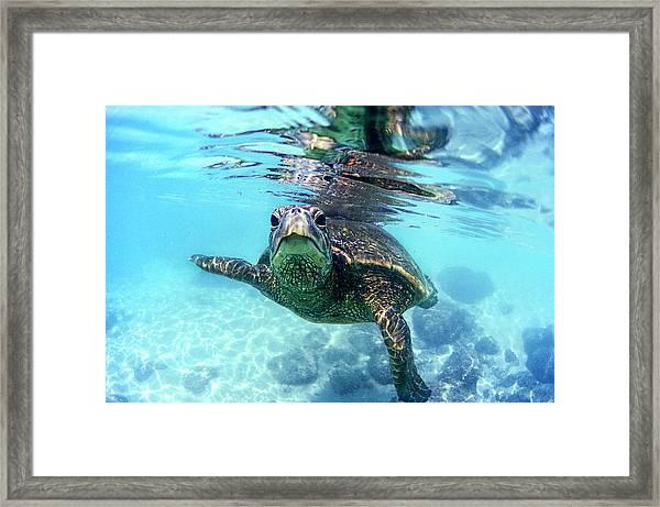 friendly Hawaiian sea turtle  Framed Print